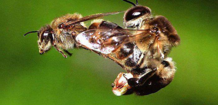 A méhanya párzása – Nászrepülés
