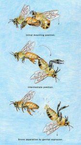 méhanya párzás