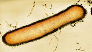 Peanibacillus-larvae